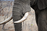 Elephant tusks poster