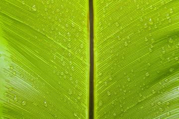 Bird's nest fern leaf