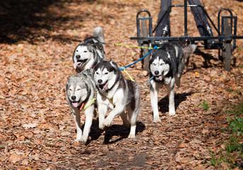 Dog-carting