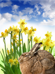 easter hare and daffodils