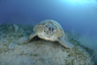 Green turtle on a bed of seagrass.