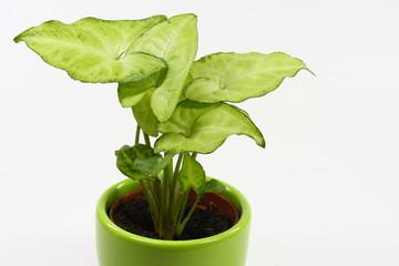 Bilder und videos suchen kaladie - Zimmerpflanze rankend ...