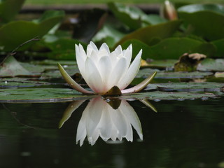 Anmut und Schönheit einer Seerose