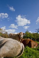 Wiesen Rinder