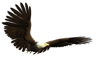 american bald eagle flight