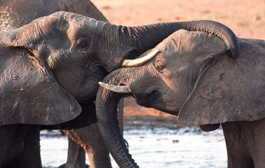Two elephants greeting at waterhole lovingly