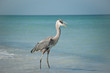 Great Blue Heron With Fish on a Gulf Coast Beach