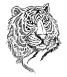 sketch tiger - 27040683