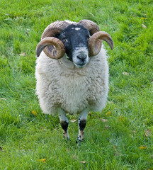 Horned Sheep Norfolk Rare Breed