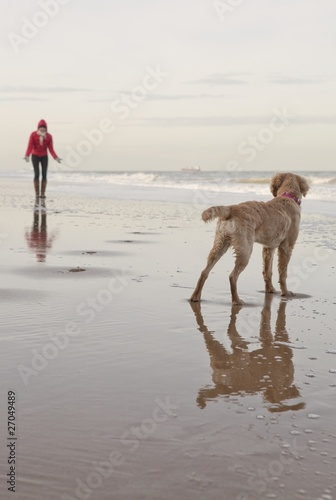 Mixed breed Golden Retriever-Poodle cross with owner on beach in Herne Bay, Kent