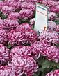 Chrysanthèmes, Toussaint