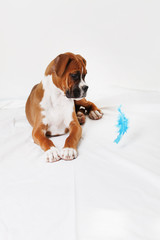 boxer puppy and blue feather