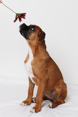 boxer puppy named tara