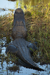 American alligator view from behind