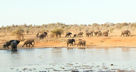 Elephant herd walking at waterhole in Africa