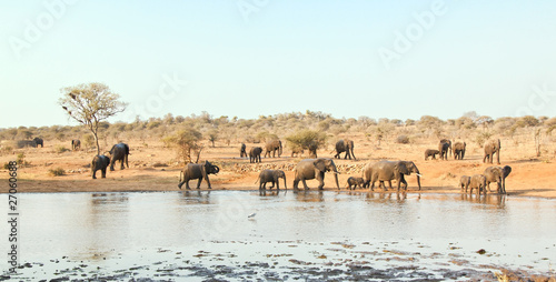 Elephant herd walking at waterhole in Africa
