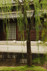 倉敷の柳の木