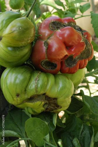 Alternaria solani / Alternariose de la tomate