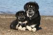 tendresse entre une maman dogue du Tibet et son chiot