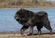 dogue du Tibet crinière au vent