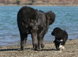 dogue du Tibet et son chiot marchant ensemble