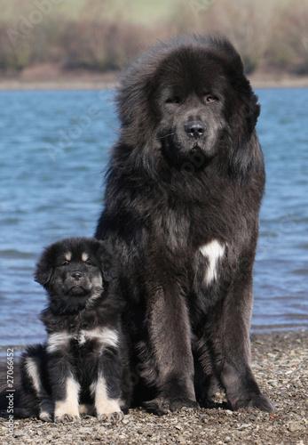 chiot dogue du Tibet et sa maman