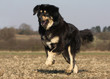 saut joyeux du dogue du Tibet