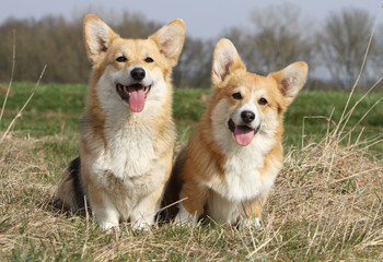 deux welsh corgi de face et joyeux