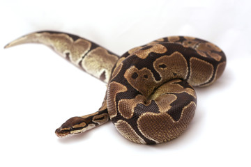 Ball Python Curled Up