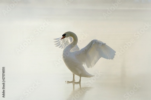 Tuinposter Zwaan Beautiful swan standing on frozen lake at dawn