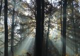 Fototapeta drewno - bożek - Las