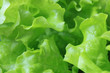 Fresh lettuce, Green salad