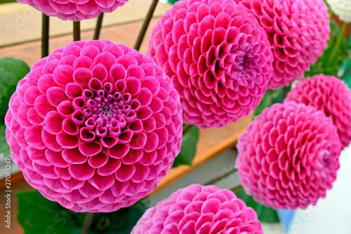 Fotobehang Dahlia Large pink pompom dahlias (
