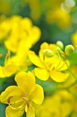 センナの花