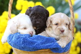 Three Cockapoo Puppies in a Basket