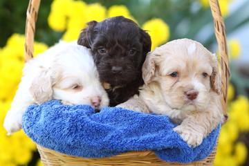 Three Cockapoo Puppies in a Basket