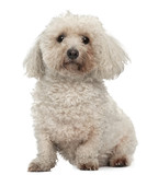 Bichon Frise, 8 years old, sitting in front of white background poster