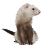 Ferret, 2 years old, in front of white background poster