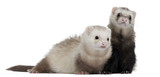 Ferrets, 8 months old, in front of white background poster