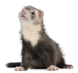 Ferret, 3 months old, sitting in front of white background poster