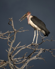 Marabou perched on tree in Serengeti, Tanzania, Africa