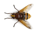 Hornet mimic hoverfly, Volucella zonaria poster