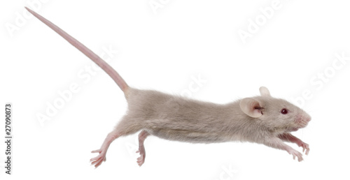 Young mouse jumping in front of white background