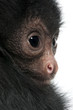 Close-up of Red-faced Spider Monkey, Ateles paniscus