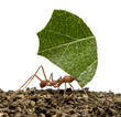 Leaf-cutter ant, Acromyrmex octospinosus, carrying leaf