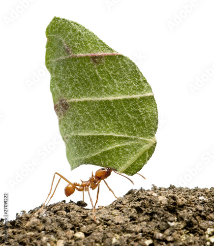 Papiers peints Porter Leaf-cutter ant, Acromyrmex octospinosus, carrying leaf