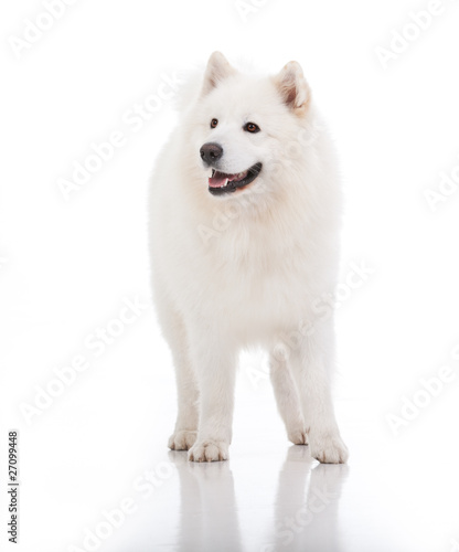 white dog, looking to the side
