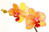 Fototapety Phalaenopsis
