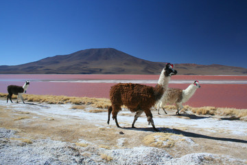 Llamas in South America