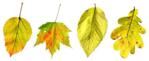 versch. Herbstblätter